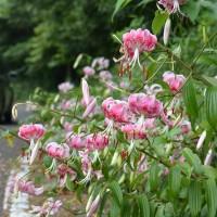 道路沿いに咲くカノコユリ。(撮影:藏野量夫様)