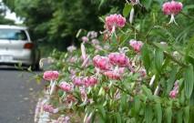 古い記事: 夏の甑島はピンクに染まる♡ | せきこのうきうき♪甑島コラム