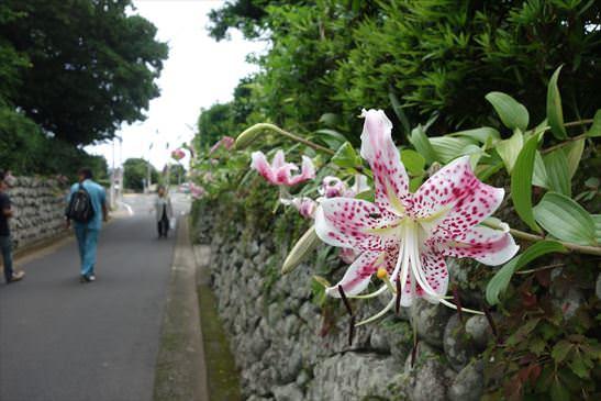 武家屋敷通りの玉石垣に咲き乱れるカノコユリ