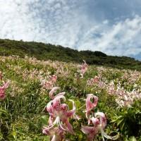 鳥の巣山展望台一面に咲くカノコユリ(撮影:藏野量夫様)