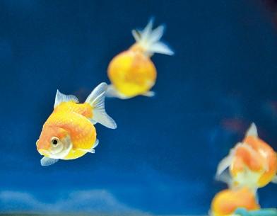金魚《ピンポンパール》