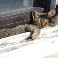 甑島のネコ