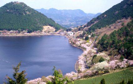 桜満開の藺牟田池
