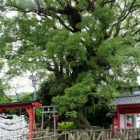 樹齢1300年の大クス