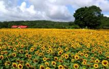 古い記事: 鹿児島市都市農業センター   花のじゅうたんを楽しむ(鹿児島