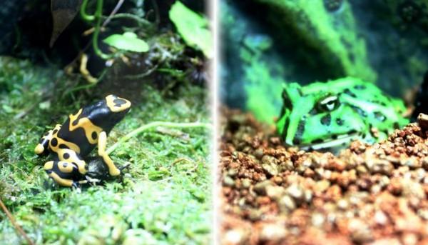 写真左が「ヤドクガエル」、写真右は表情豊かなカエル君
