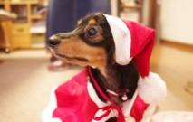 古い記事: 愛犬と一緒に変身!? お正月に向けての愛犬グッズをPick