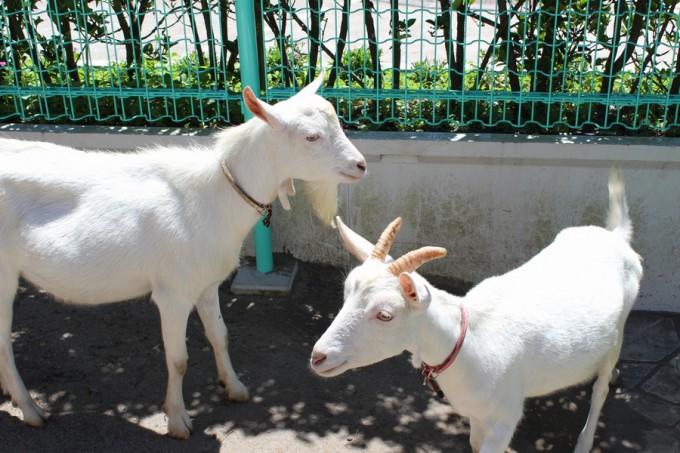 志布志湾イルカランドのヤギ