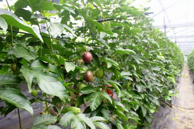 甑フルーツ園のパッションフルーツ