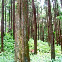 杉林イメージ