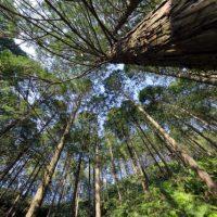 ヒノキの木立イメージ