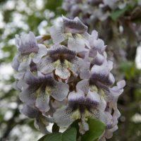 キリの花イメージ
