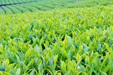 茶畑イメージ
