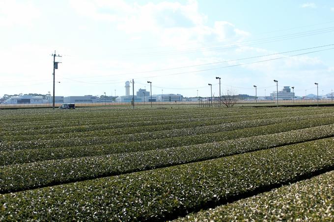 空港近くの茶畑