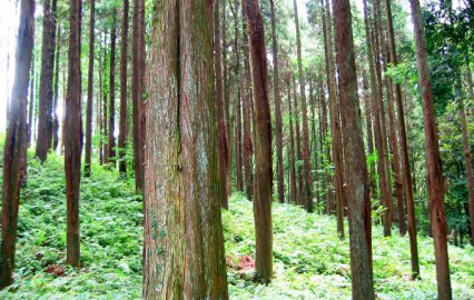 古い記事: 南九州の森林を育てる
