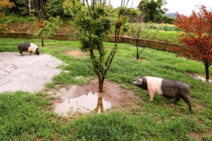 サドルバック種「ふくどめ小牧場」