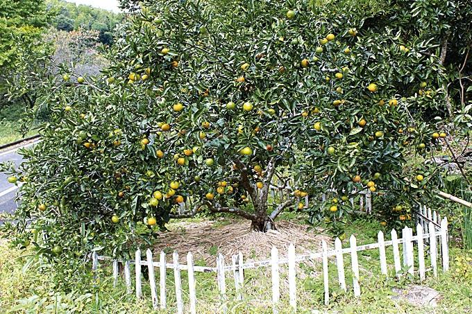 長島町の温州ミカン原種の子孫にあたる木