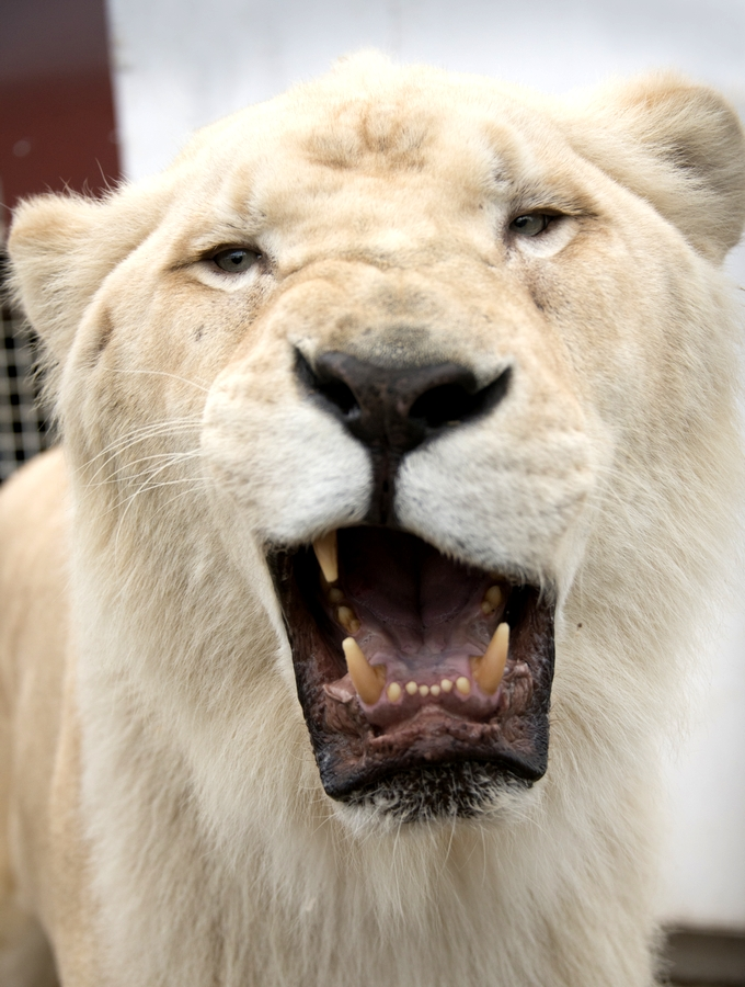 木下大サーカス ホワイトライオン ソロモンくん