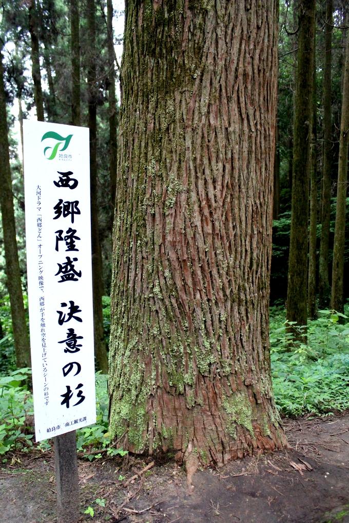 龍門司坂「決意の杉」