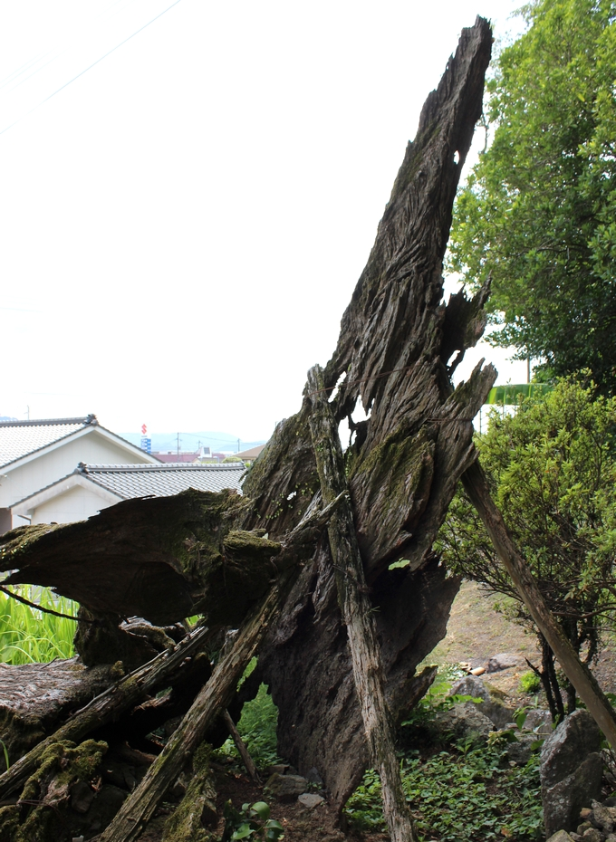 蛭児神社「神代の楠」