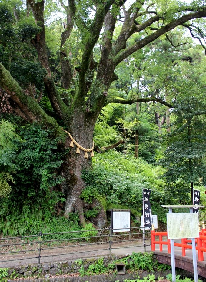蛭児神社ご神木