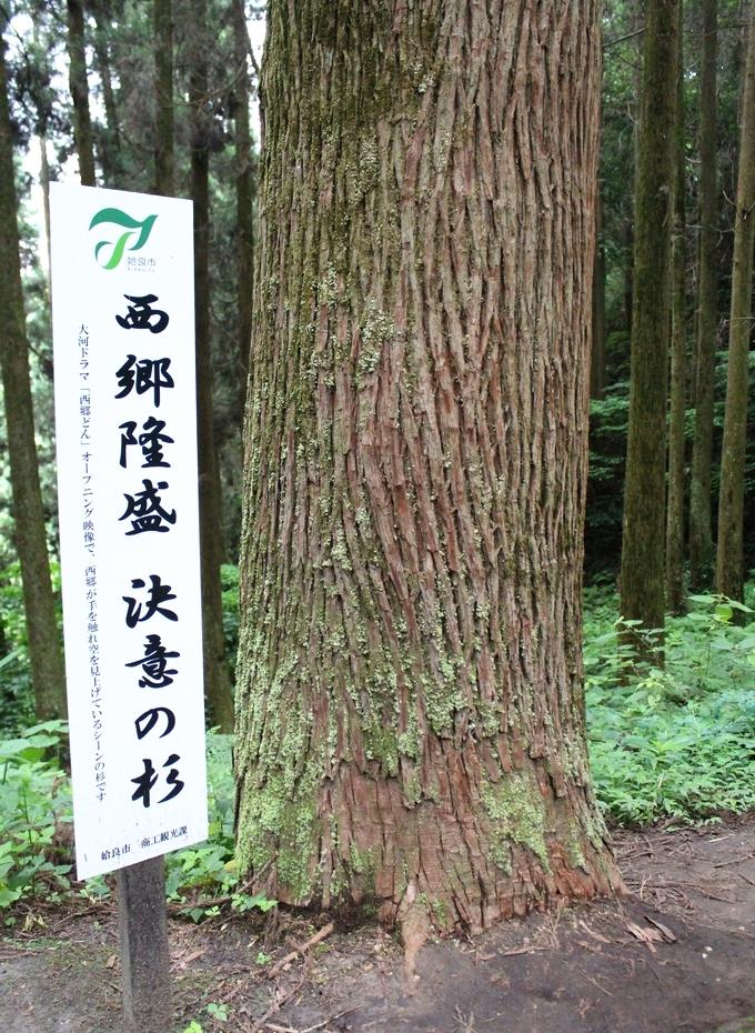 龍門司坂・決意の杉