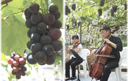 古い記事: モーツァルトを聴いて実るブドウたちが錦江町にいるって知ってる