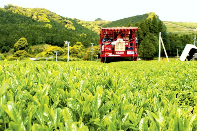 若緑色の茶畑