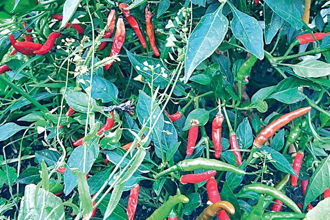 収穫期の花岡胡椒