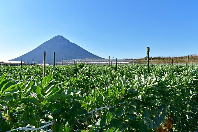 開聞岳とソラマメ畑
