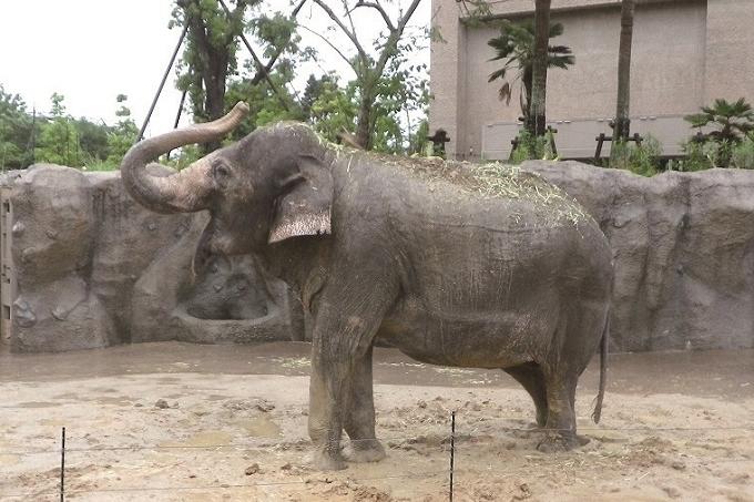 平川動物公園のインドゾウ