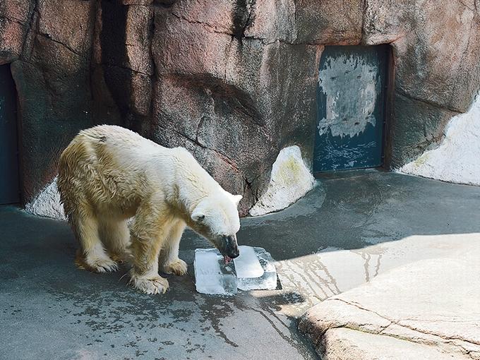 平川動物公園ホッキョクグマのカナ