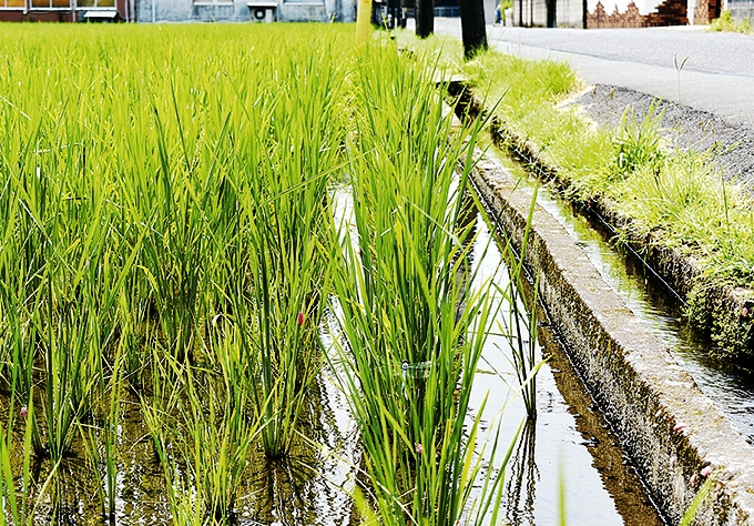 玄米が育つ田んぼ