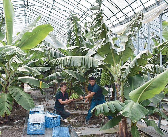 神バナナの畑