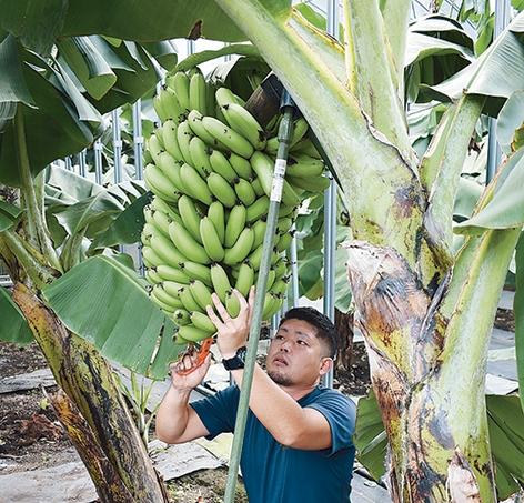 神バナナの収穫