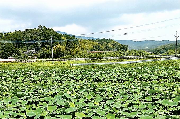 錦江町役場田代支所 レンコン