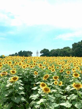 長崎鼻灯台公園「ひまわり」