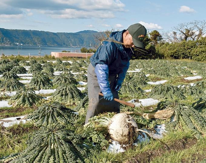 桜島大根の収穫「ファームランド櫻島」
