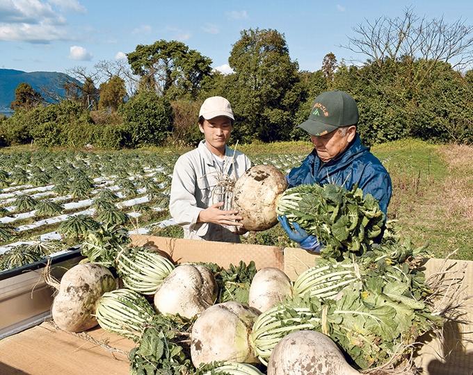 桜島大根・贈答用などの収穫「ファームランド櫻島」
