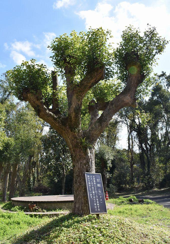 開聞山麓香料園「芳樟の木」