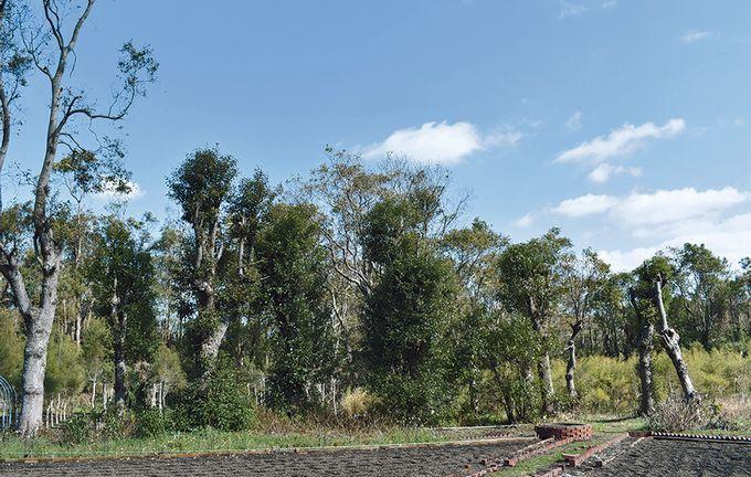 開聞山麓香料園「芳樟の林」