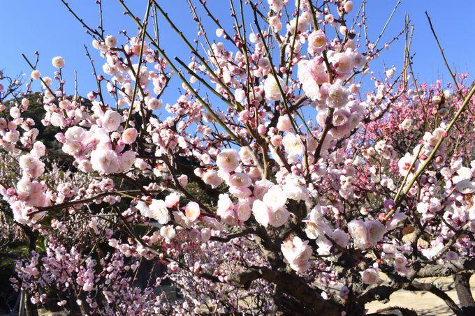 名勝 仙巌園「梅の花」