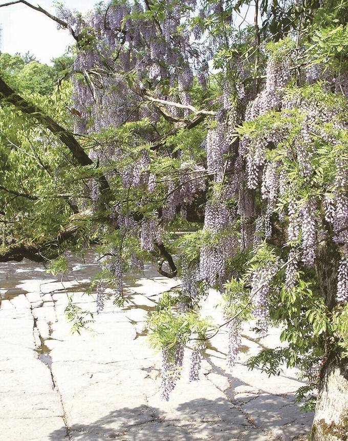 花瀬自然公園の藤