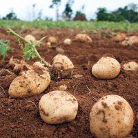 長島の「赤土ジャガイモ」のウマさを知った…どハマり確定!