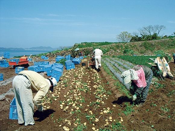 「赤土ジャガイモ」収穫の様子(2020年)