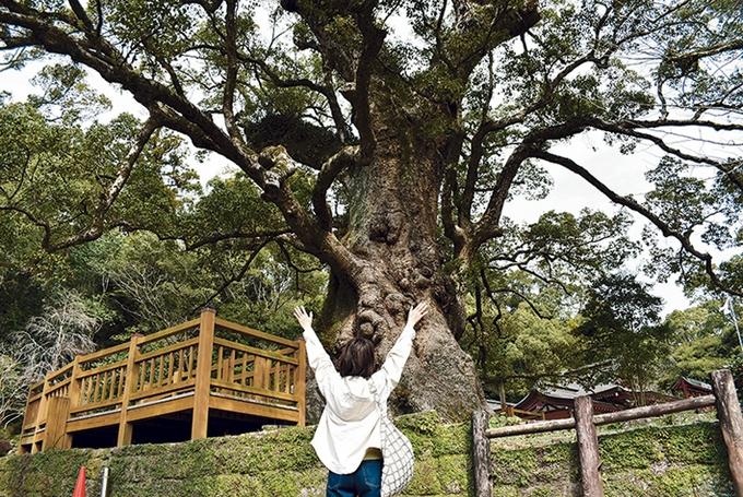 蒲生八幡神社境内の大クス