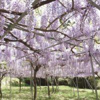 藤本滝公園で藤の花に包まれる。薩摩華厳に鬼はいない | 薩摩川内市
