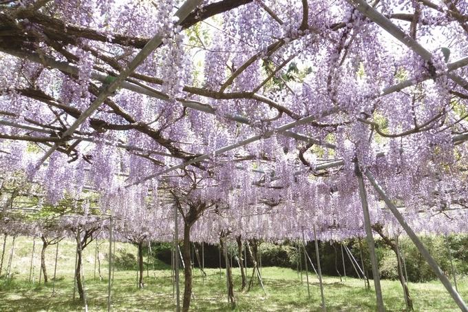 藤本滝公園の藤棚