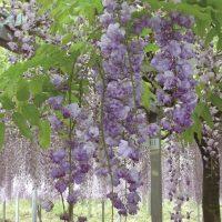 和気公園で藤の花に包まれる。藤棚の下に鬼はいない… | 霧島市