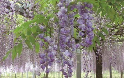 和気公園で藤の花に包まれる